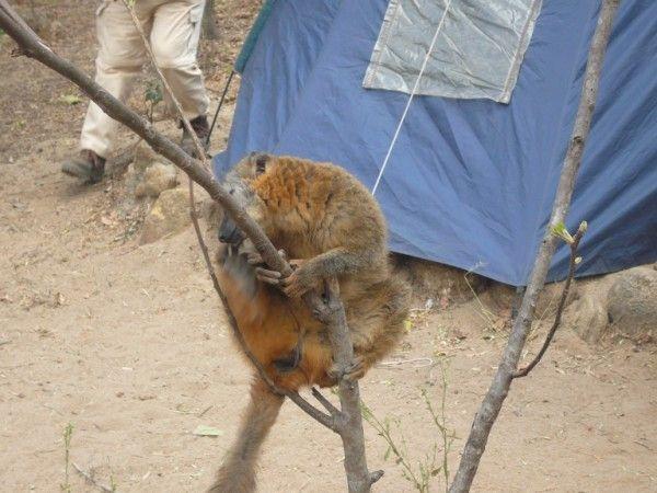 Lemure a Isalo